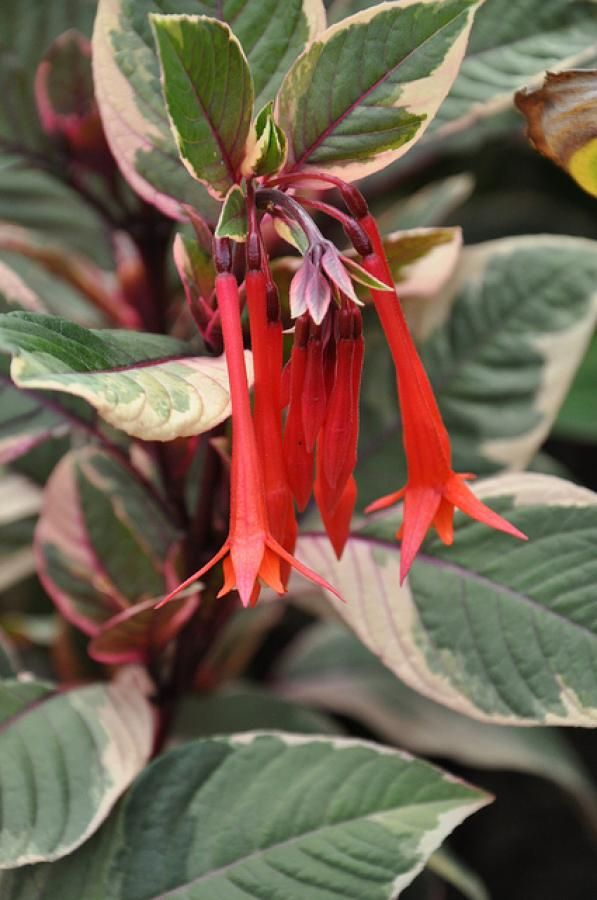 258 best perennial flowers images on pinterest gardening the garden geeks plant of the day firecracker honeysuckle fuchsia fuchsia triphylla perennial zone to read more or find a supplier mightylinksfo
