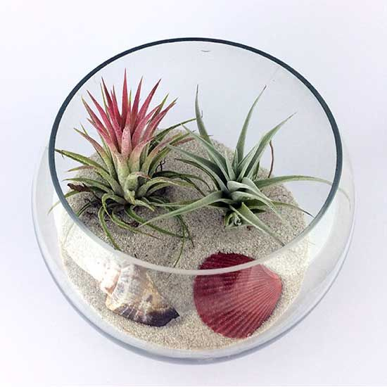 Bol sticla mediu cu plante aeriene