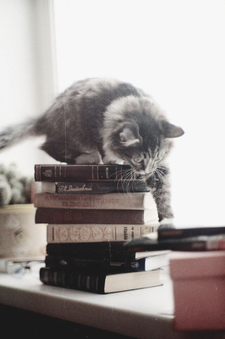 grey kitten + books | animals + pet photography #cats