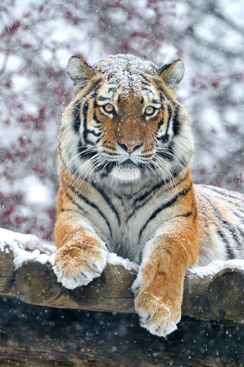 alltiger:(via 500px / Majestic Snow Tiger by Josef Gelernter) by alltiger
