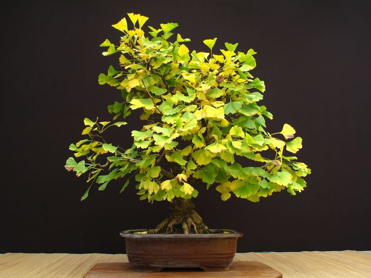 Bonsai Haus 127 best bonsai 2 images on bonsai bonsai garden and