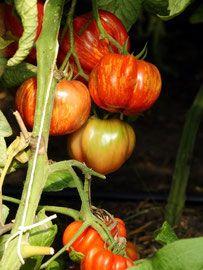 Biogartenbedarf: Bio-Saatgut alter Tomatensorten und interessanter Neuzüchtungen für anspruchsvolle Gärtner. Samenfeste Tomaten-Samen aus biologisch-dynamischen und biologisch-organischem Anbau.