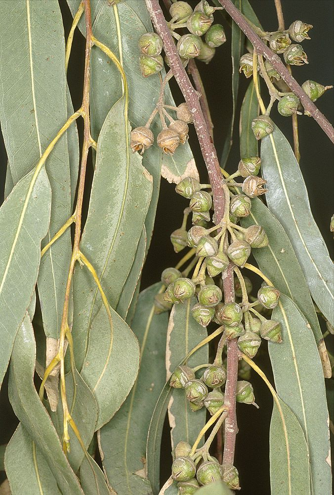 Arboles Ibericos - Eucalyptus camaldulensis