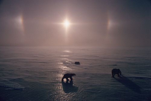 Parhelion / sun dogs over sea ice and a polar bear mother and cubs. Churchill. Manitoba. Canada.