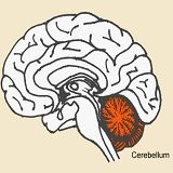 Studies Implicate Early Injury to Cerebellum as Major Cause of Autism