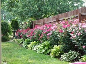 Knockout roses and hostas planted along fence. Low maintenance and beautiful! by louellaa