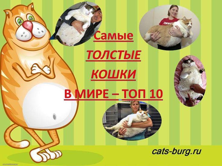 Самые ТОЛСТЫЕ КОТЫ и КОШКИ в МИРЕ - ТОП 10|Fattest cats in the world - T...