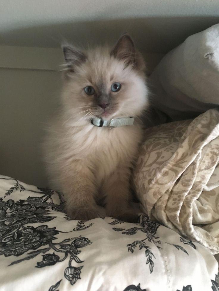 Cute lilac ragdoll kitten... my little bubba