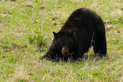 Connor from Alderleaf Wilderness College shares tips for avoiding dangerous black bear encounters.