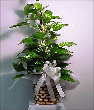 """Pothos Pole Plant-This plant is part of the Philendron plant family is very easy to care for and also a nice low light plant. It is attached to a flat wood pole and the plant grows up and around the pole. This plant is delivered in an 8"""" natural wicker basket and is nice for the home or office and, of course, in sympathy. #NorfolkFlorist #IndoorPlants #GreenThumb"""