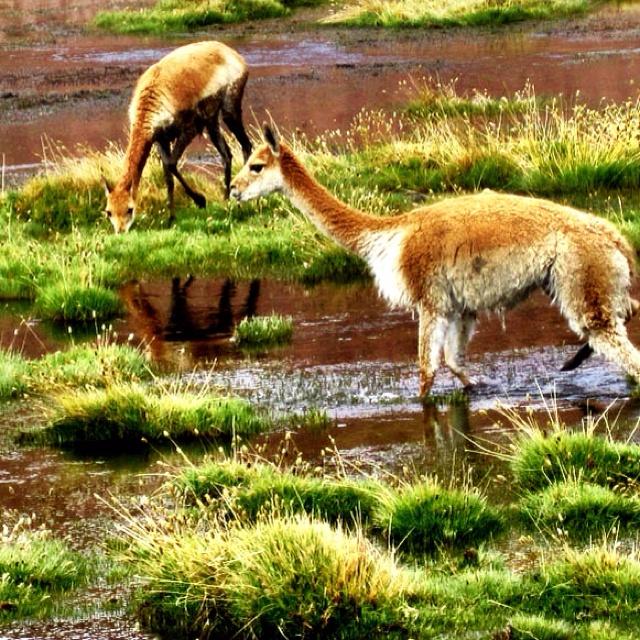 272 Best Images About CAMELIDOS = Llamas
