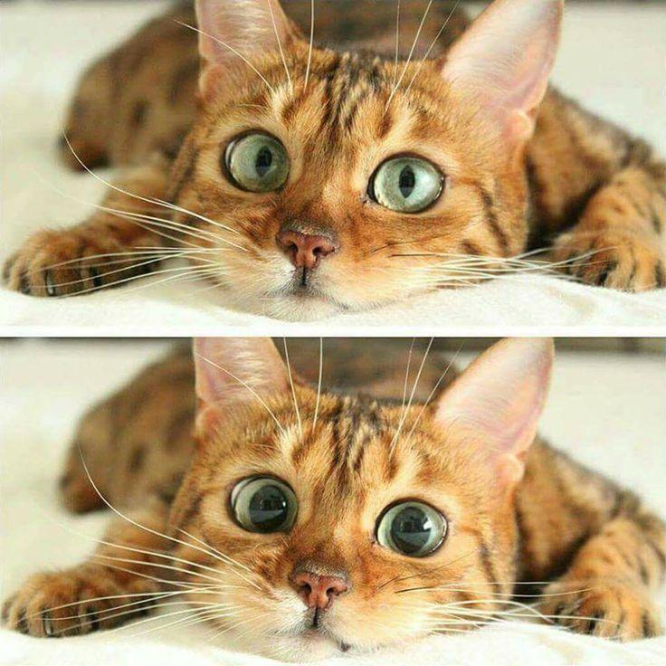 """** """"Yoo kayzee! Me notz a tuxedo type cat!"""""""
