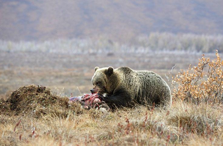 Медведь убийца. Часть вторая. - Дикая природа России.