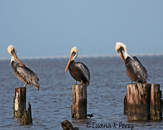 Luana Perez of South Louisiana, is not only a fabulous photographer.... she has a great sense of humor. The title of this shot of three Pelicans? Curley, Larry and Moe. LOL