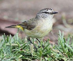 Yellow-rumped Thornbill | BirdLife Australia
