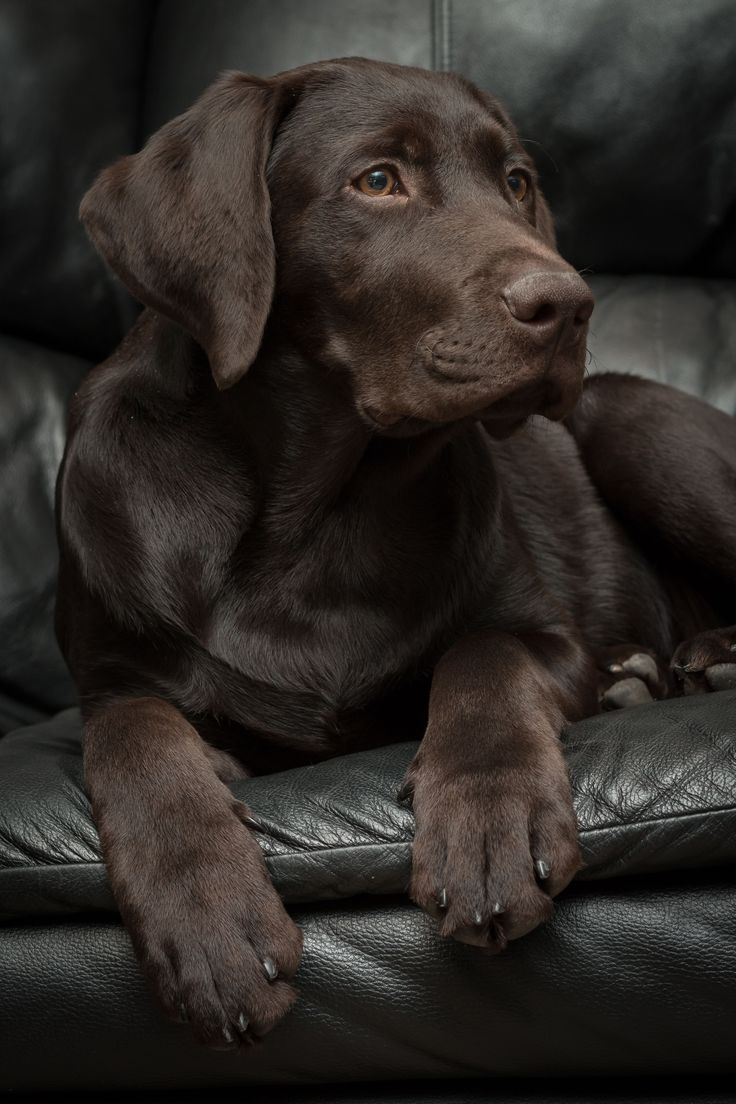 4 month old chocolate lab