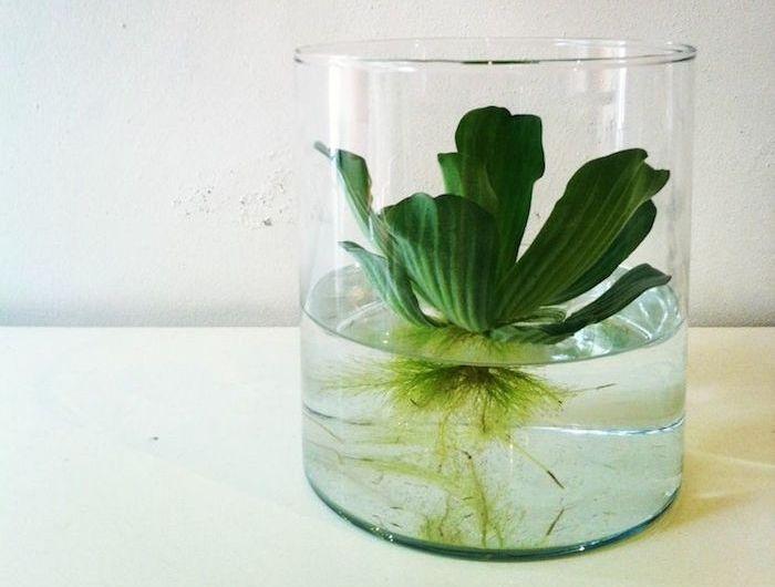 Les 25 meilleures id es de la cat gorie plante pour for Plante pour aquarium