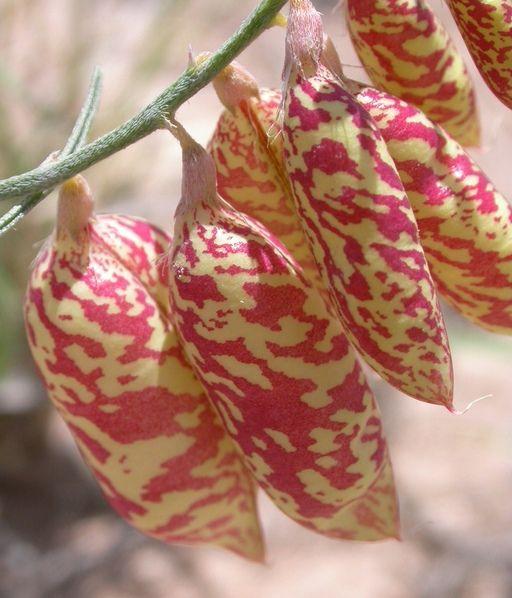 Astragalus Ceramicus shown here. All Astragalus (Milkvetch) are Nitrogen accumulators of the Fabaceae Pea Family