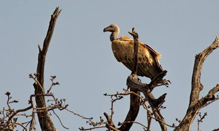 This White Backed Vulture caught the attention of our cameras this morning at Shiduli. As we watched it started getting restless and soon spread its mighty wings and took off, no doubt in search of food.
