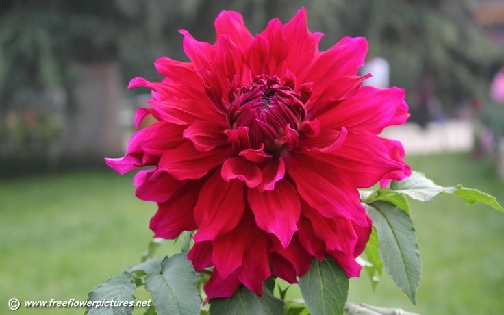 red dalhias | Dahlia pictures,Dahlia flower pictures