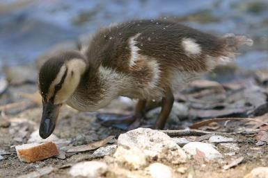 Why You Should Stop Feeding Bread to Ducks