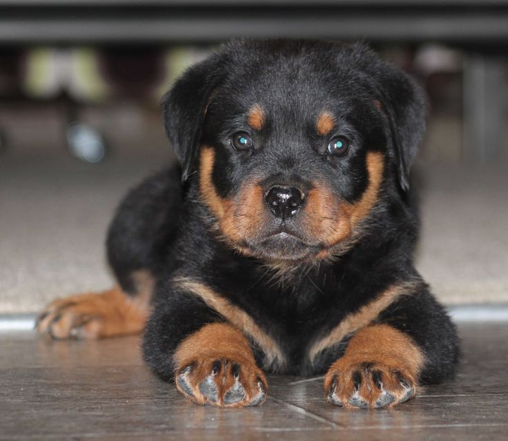 how to train a rottweiler to be a guard dog