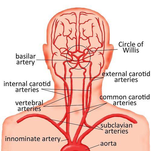 Neurology----Major arteries in the head and neck: basilar artery, circle of willis, external carotid arteries, vertebral arteries, common carotid arteries, subclavian arteries, and aorta