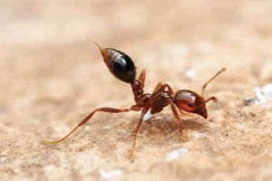 Learn how to get rid of fire ants without using heavy-duty chemical pesticides. From MOTHER EARTH NEWS magazine.