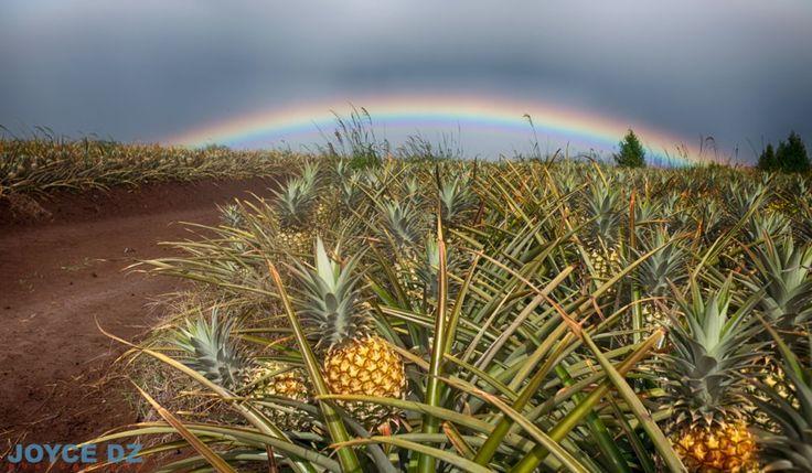 Maui Gold farm, Pineapple Tours, Aloha, Maui, Hawaii, vrbo hawaii, vrbo maui