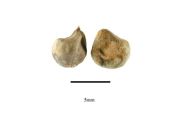 http://www.ars-grin.gov/npgs/images/sbml/Abelmoschus_esculentus_seeds.jpg
