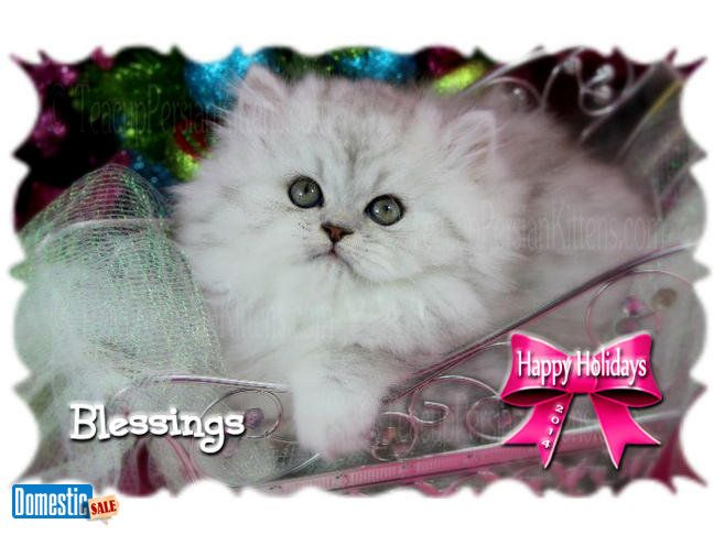 Doll face persian kittens for sale london