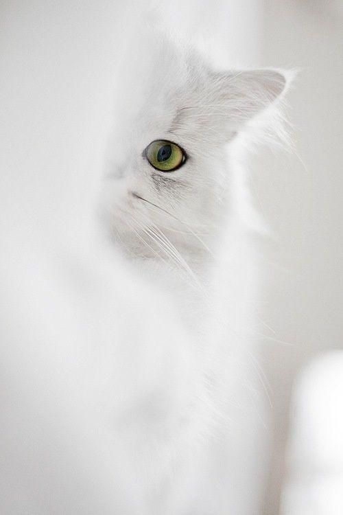 pretty white cat peeking