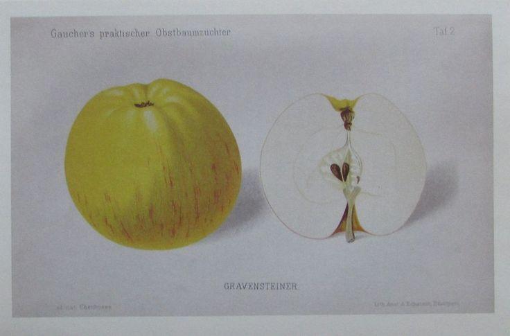 GRAVENSTEINER Nachdruck Druck print Obst Pomologie Apfel   eBay