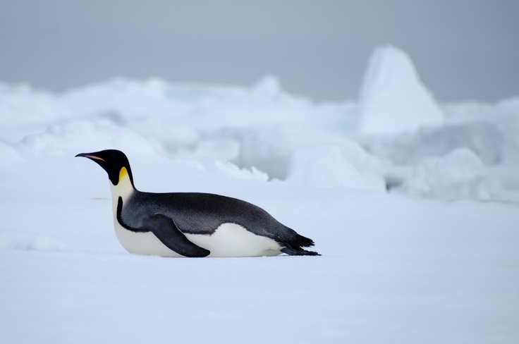 Emperor Penguins move faster laying down than standing up and walking.: Faster Lay, Moving Faster, Emperor Penguins, Penguins Moving, Susi Stuff
