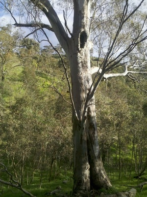 Old Gum Tree, Waite Conservation Reserve, Adelaide S.A