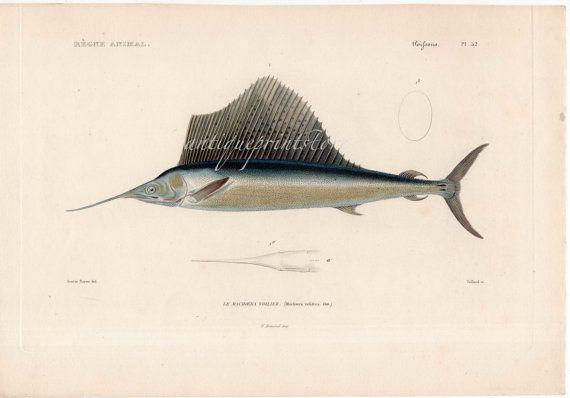 1836 sailfish swordfish original antique sea life ocean marine animal print - machaera voilier velifera