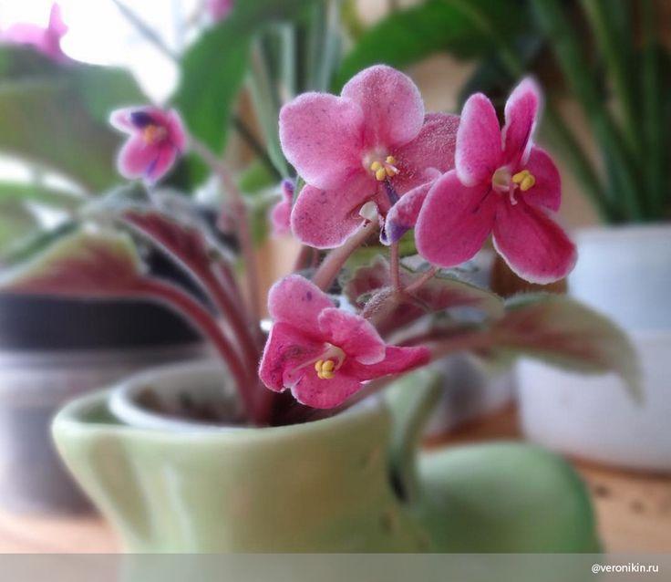 Как ухаживать за фиалками: 7 правил Фиалки растут почти в каждом доме: эти цветы достаточно неприхотливы, однако чтобы добиться их обильного цветения — а они могут цвести на протяжении 10 месяцев в году, — необходимо придерживаться нескольких правил.