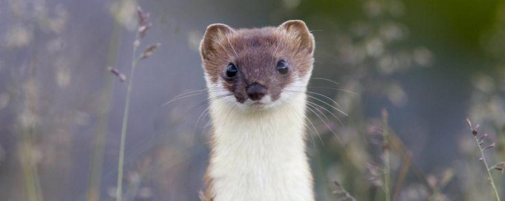 Mauswiesel Im Garten Ansiedeln Maus Garten Hermelin