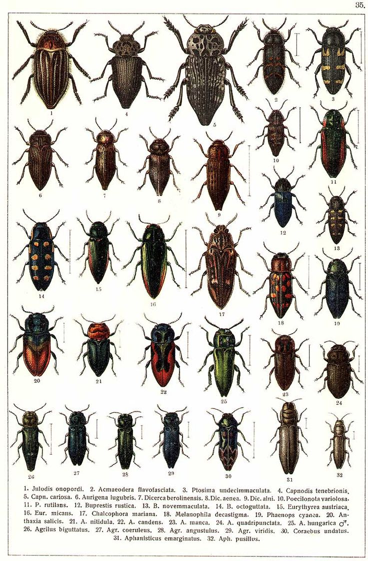 """G.G. Yakobson (1905-1915) - """"Beetles of Russia"""": table 35"""