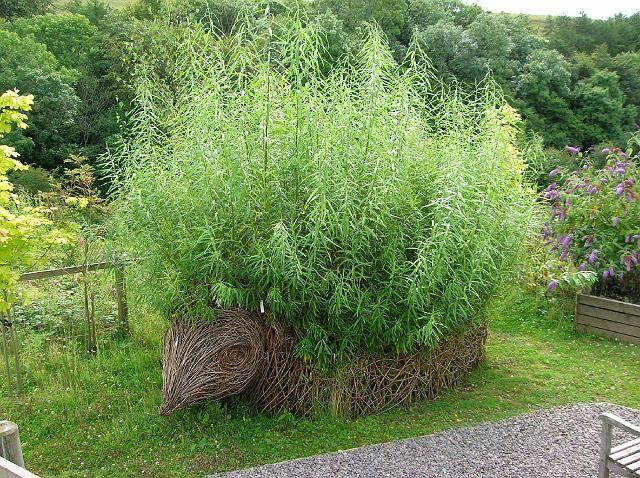 Living willow hedgehog!  So cute!