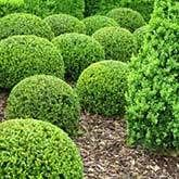 Wintergreen Boxwood   Wintergreen Boxwood for Sale for Sale   Fast Growing Trees