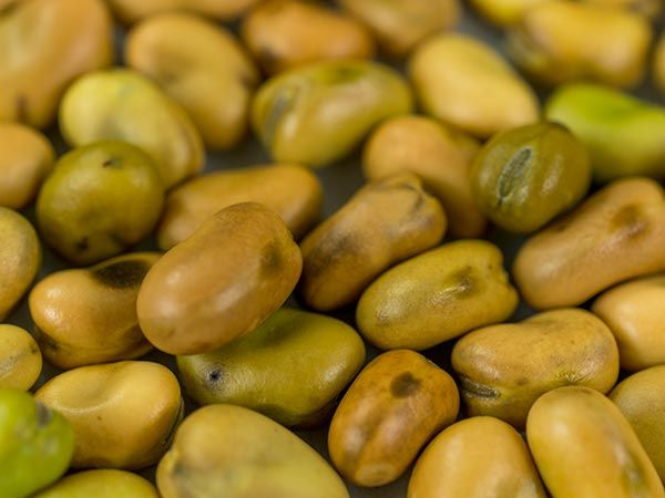 An exceptional feat in natural plant breeding, this small-seeded fava is extremely cold hardy and well adapted to being grown as a winter cover crop but boasts the flavor and size of an eating fava. A perfect combination-- especially for the home gardener