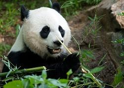 Mei Xiang newborn baby died today. It was less than a week old. Mei Xiang suddenly let out an alarmed sound and began pacing around very agitated. No signs of trauma or neglect. An autopsie will be done determine the cause of death. Poor Mei Xiang. She is such a good mother. I feel bad for her.