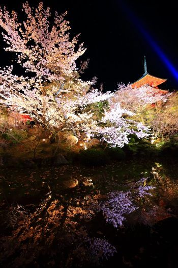 京都清水寺の満開の桜の幻想的なライトアップと水鏡
