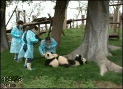 funny-gifs-pandas-dream-job.gif (250×181)