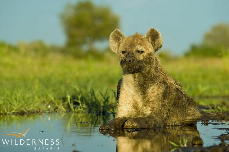 Owing to its location on the periphery of the Delta, Chitabe offers exciting year-round game viewing. #Botswana #Africa #safari #spotted_hyaena