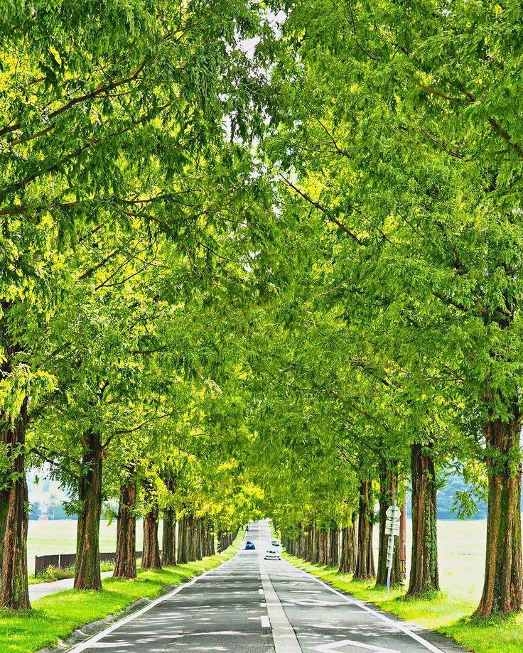 滋賀県高津市マキノ町にある「メタセコイア並木」は、約2.5kmに渡ってメタセコイアの木が植えられている並木道です。秋は並木道の紅葉はもちろん、山々の木々の映ろいとのコンビネーションや近くの果樹園では秋の味覚狩りも楽しめちゃいます!今回はメタセコイア並木の紅葉をご紹介します。(最終更新:2016年10月15日)