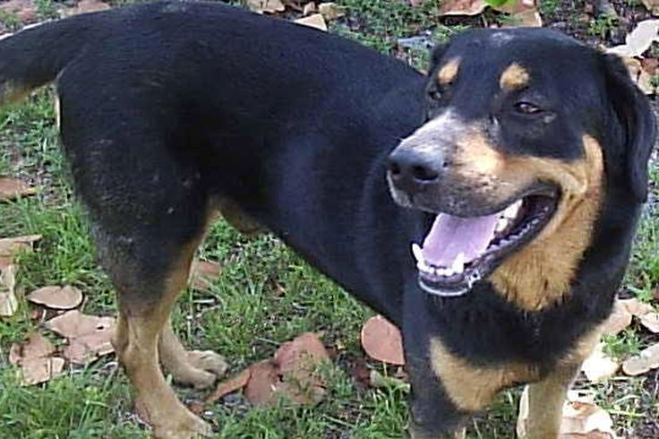 rottweiler lab mix - Google Search