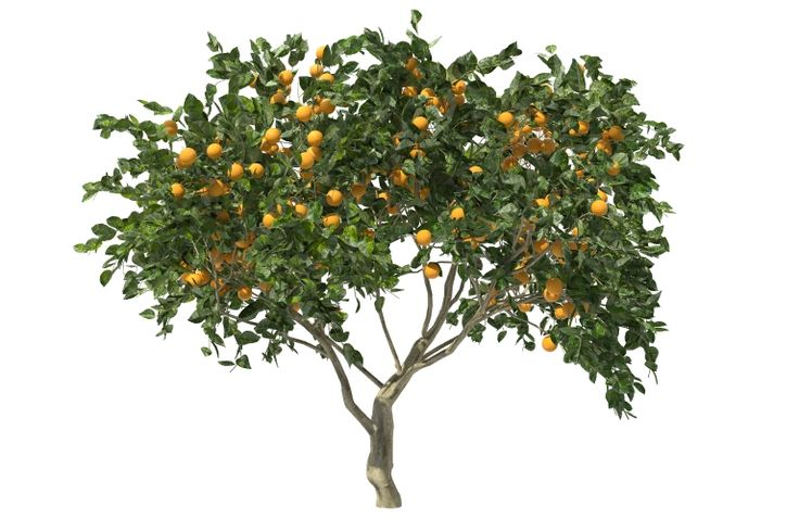 ORANGE TREE 3D, fruit citrus tree 3D