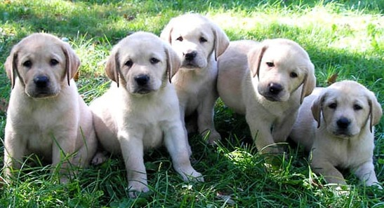 Puppies!! No summer is complete without playing with these amazing, angelic, adorable cuties. I'll trade in everything just to play with a bunch of labrador pups on a sunny, summer afternoon #indigo #perfectsummer  (Pic credit http://www.petalot.com/wp-content/uploads/2010/12/labrador-retriever-puppies.jpg)